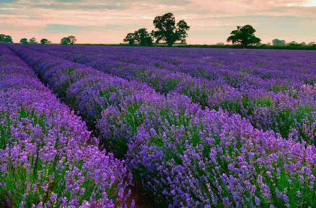 Lavender | Types of Summer Flowers