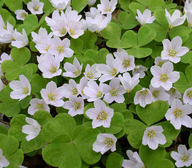 Oxalis | Types of Summer Flowers