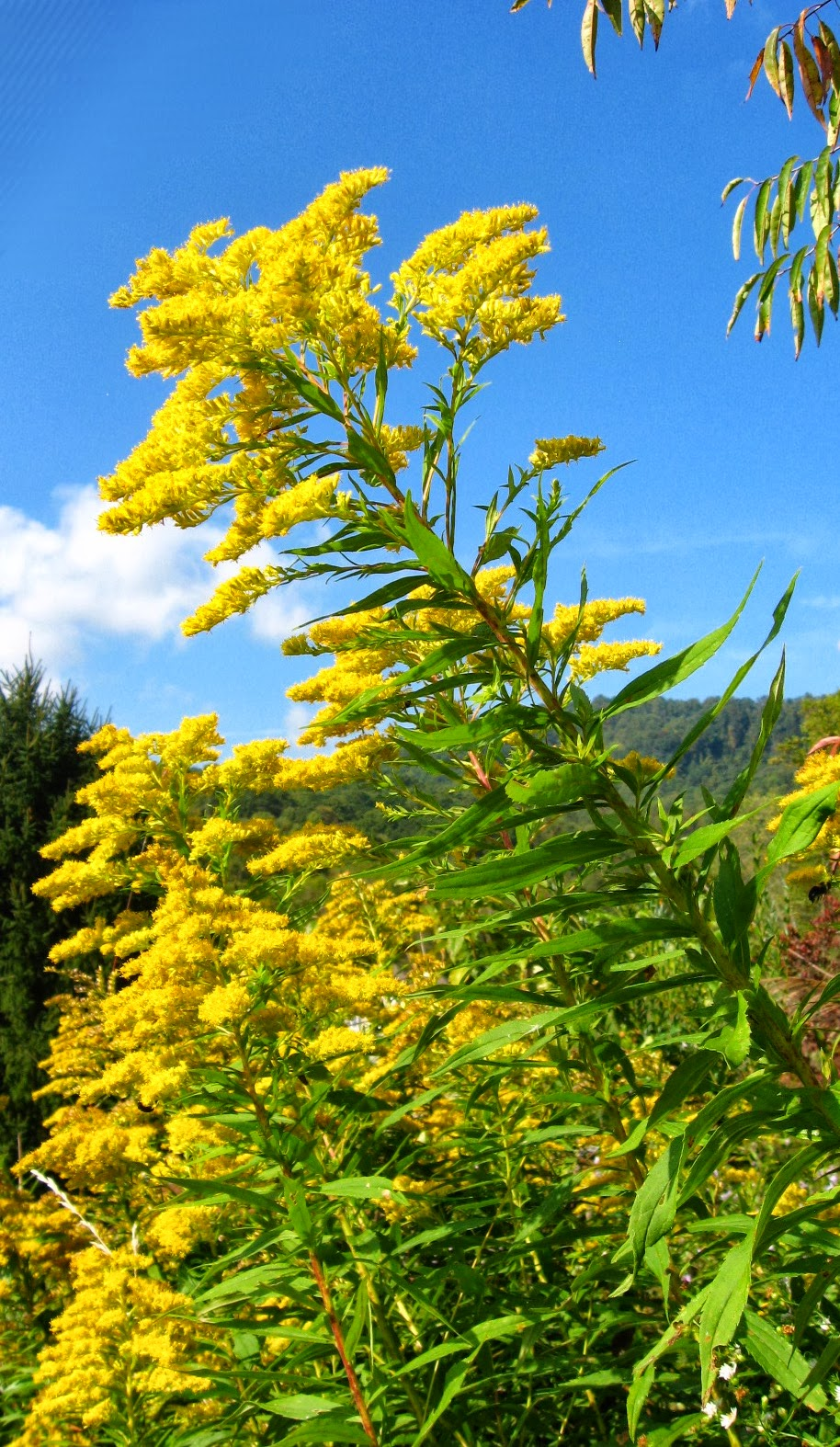 Let's Talk About: Goldenrod