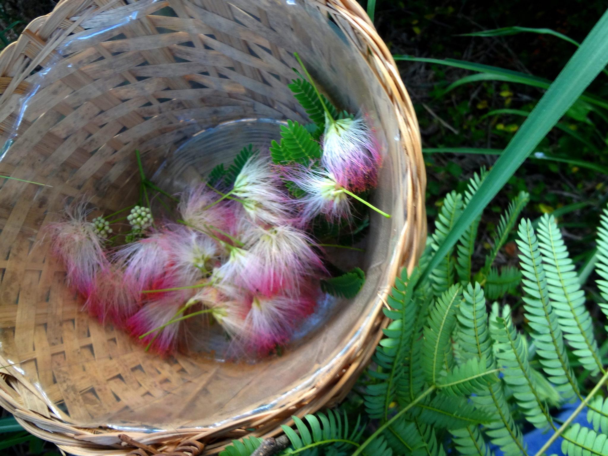 The Magic of Mimosa