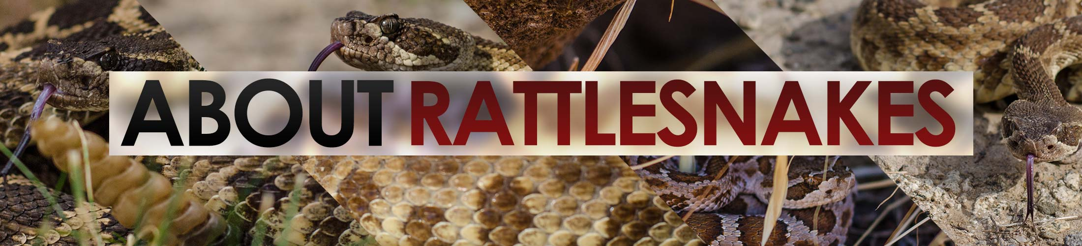 About-Rattlesnakes