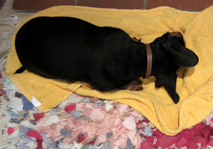 miniature dachshund drying by the fire on a towel