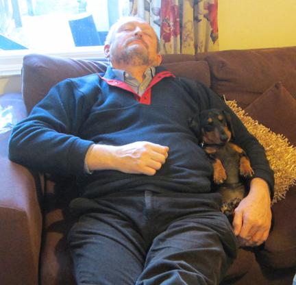 Miniature dachshund takes a nap