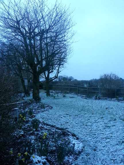 daffodils in snow: no weather for the Easter Bunny