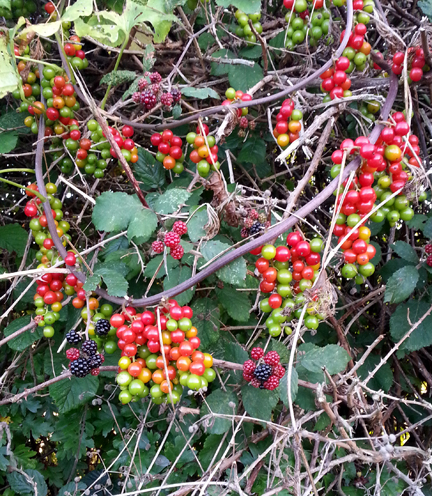 hedgerow berries