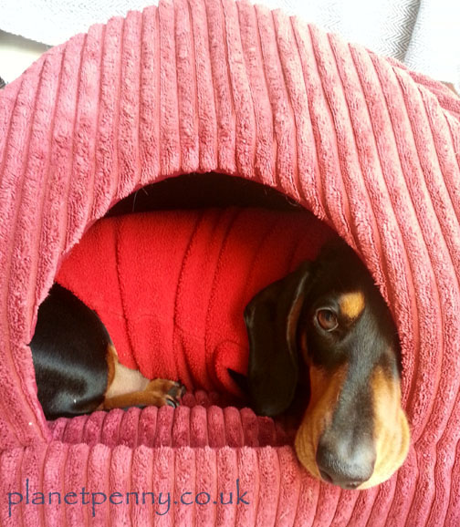 miniature dachshund in bed