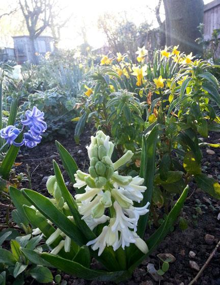 hyacinths in Spring uk