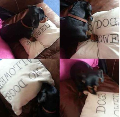 Mini Dachsund fights cushion