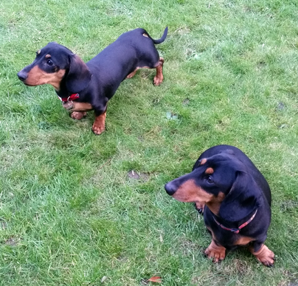 Mini Dachshunds for Happy Friday