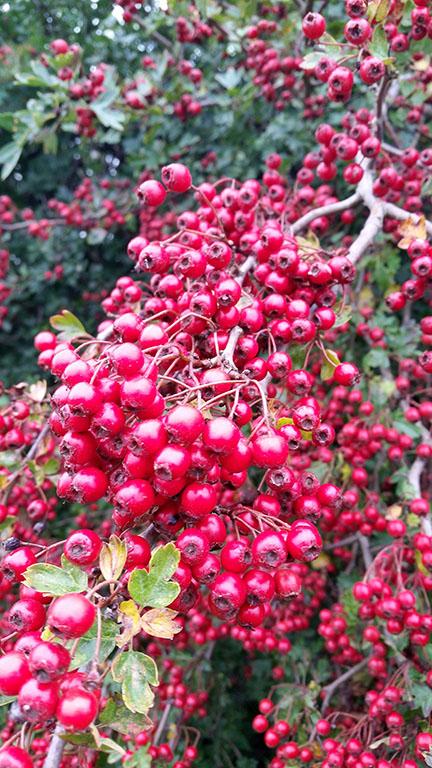 hawthorn berries - Norfolk UK - September
