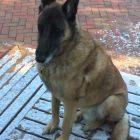 Lost in Princeton: Have You Seen Jake the Belgian Shepherd?