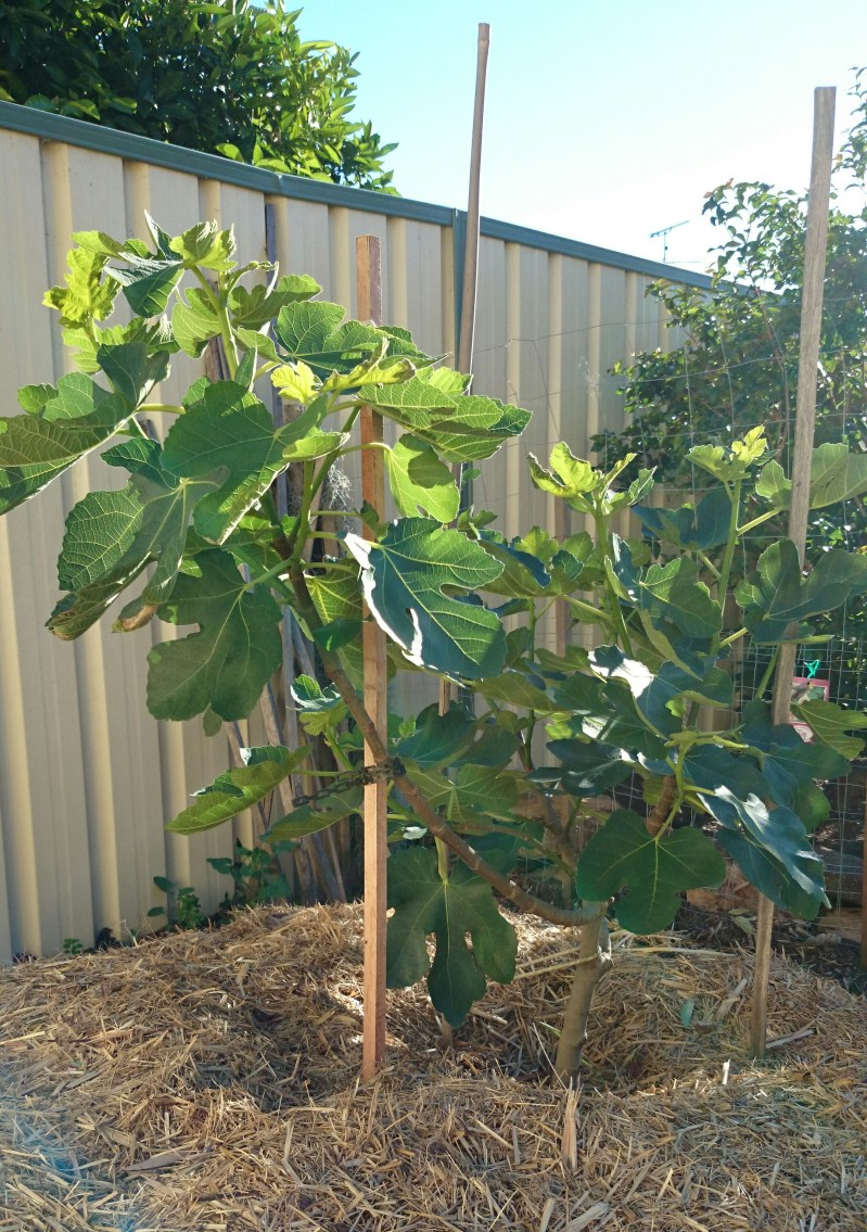 Large Of How To Prune A Fig Tree