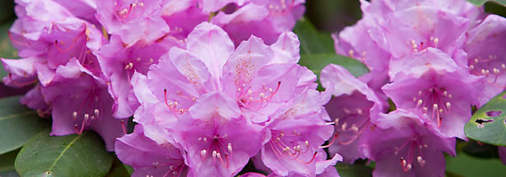 Rhododendron-Banner