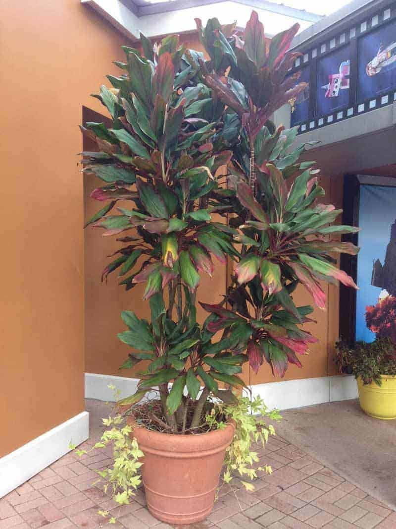 Soothing Care Sale Hawaiian Ti Plant Cordyline Electric Pink Fertilizer Cordyline Electric Pink Large Cordyline Plant Is Large Pot Orlando Florida Sept 2016 How To Grow houzz 01 Cordyline Electric Pink