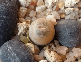lithops steineckeana