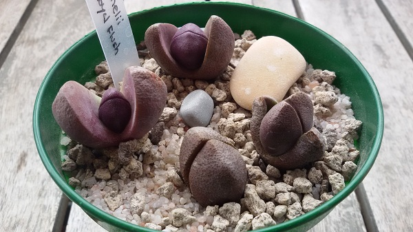 "Pleiospilos nelii ""Royal Flush""."