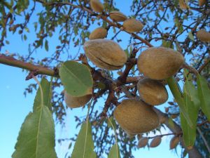 Almonds are California leading agricultural export.