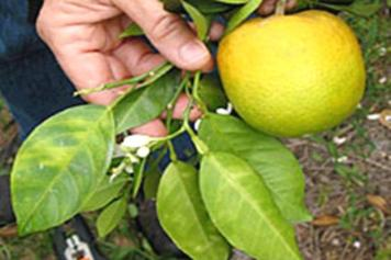 citrus damage