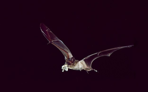 Mexican free-tailed bat (Tadarida brasiliensis) eats a moth in flight. Photo credited to Merlin Tuttle's Bat Conservation.