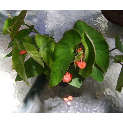 Medium Crop Of Dragon Wing Begonia
