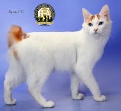 Japanese Bobtail 4 Cat Fancier's Association