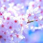 熊本城の桜2018見ごろやライトアップの時間!駐車場もチェック