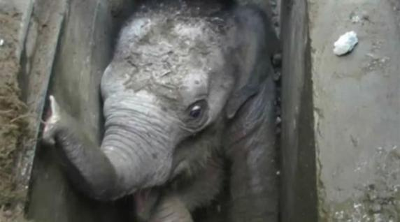 watch-baby-elephant-being-rescued-after-falling-down-a-drain-in-sri-lanka-136406524801403901-160530155027