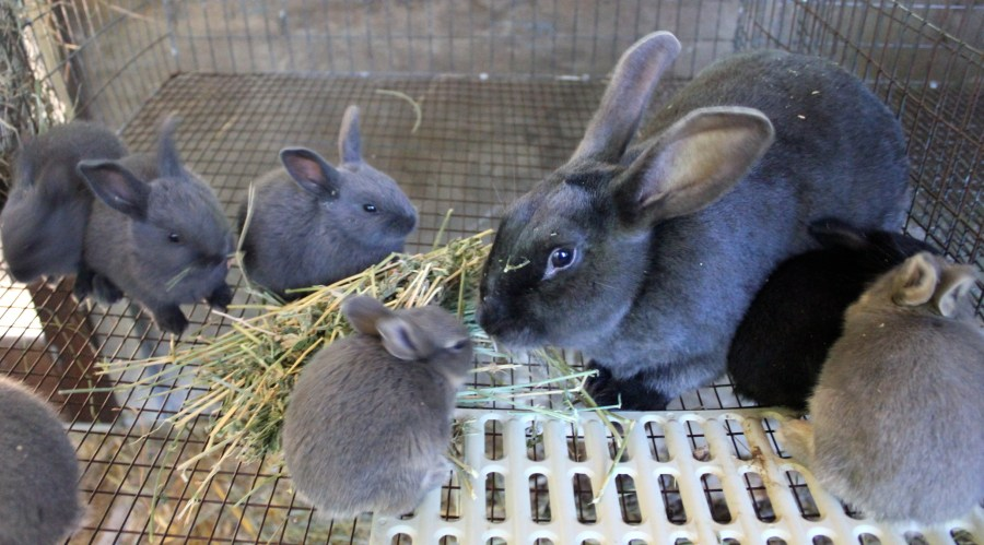 New Zealand Blue rabbit with blue and opal kits