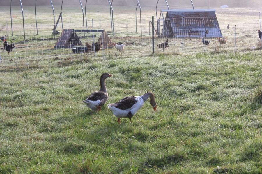 Homestead geese
