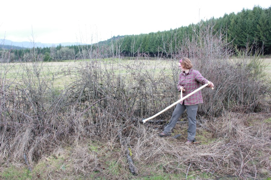 Using my bush blade to clear blackberries