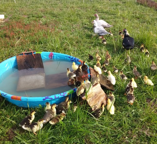 Easy ramps make for safe duckling passage