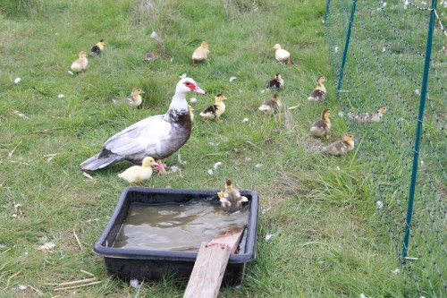 Build 'ramps' for your young ducklings
