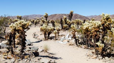 Joshua Tree kaktusy