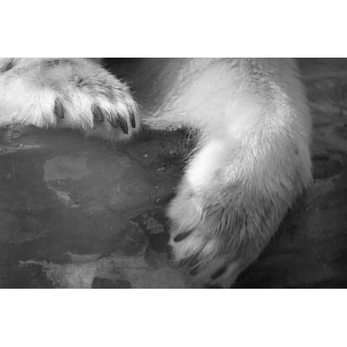Medium Crop Of Polar Bear Paw