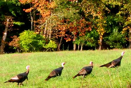 Wild turkey. Fall color. Canton CT.