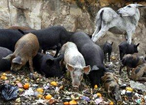 zabaleen pigs