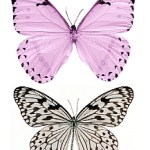 lavender for transfer