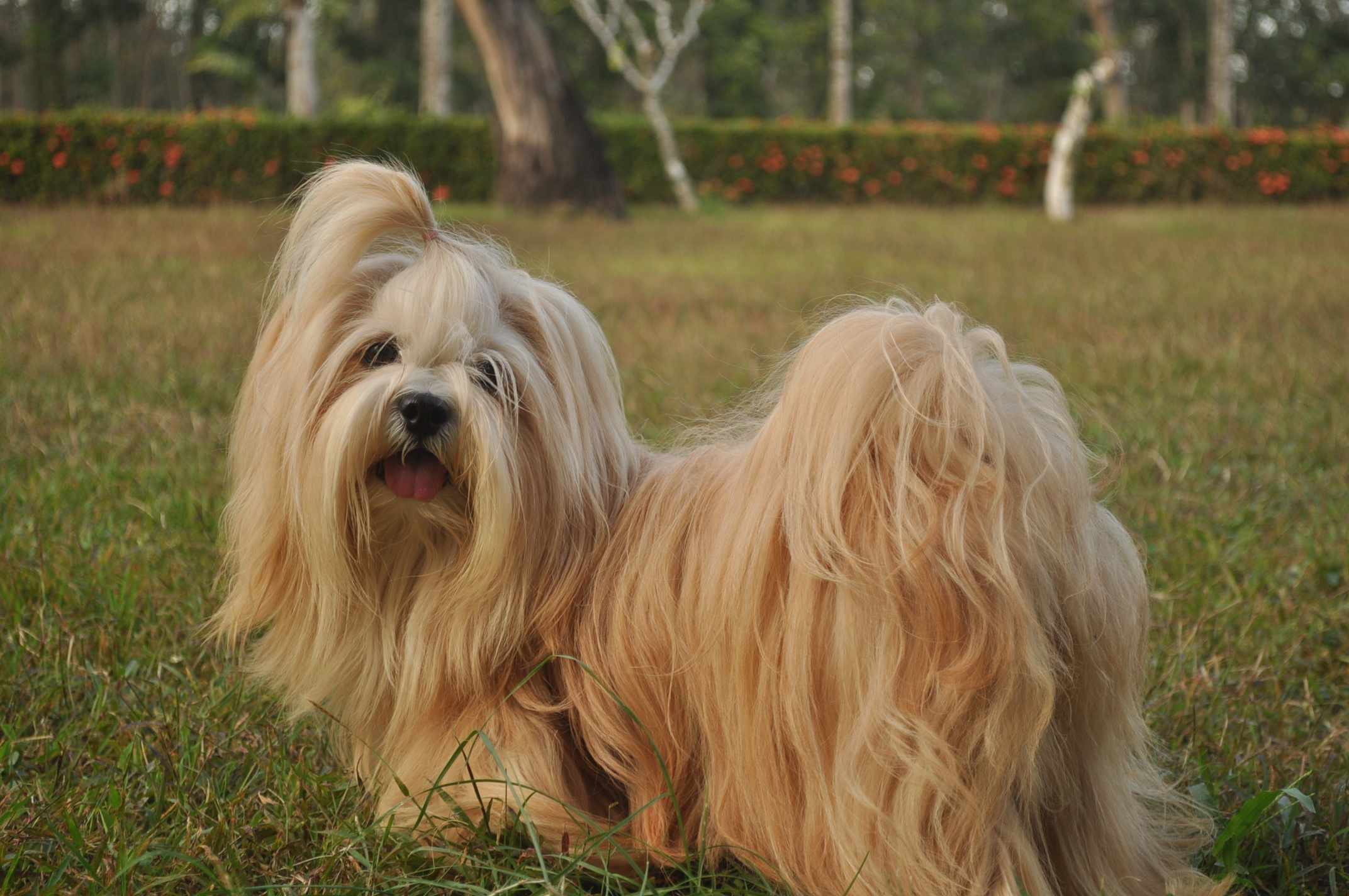 Cheery Serious Underbites Pearly Underbites Y Never Go Pooch Glamour Lhasa Apsos Page Do Dogs Really Have Nightmares What Do Dogs Do When Y Have Nightmares Overbites Are A I Have Breddogs bark post Do Dogs Have Nightmares