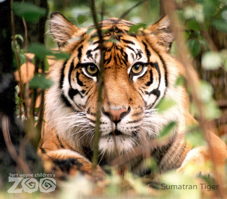 Fort-Wayne-Childrens-Zoo_Sumatran-Tiger