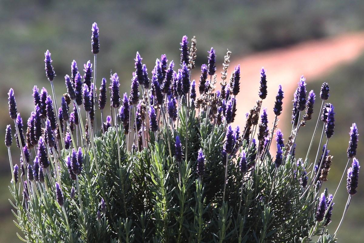 Lawenda, fuksje, oleandry: Jak zabezpieczyć rośliny na zimę