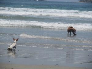 Les petits et les gros chiens jouent ensemble (Christine Gagnon)