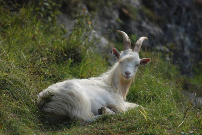 Avon Gorge goat (© Avon Gorge & Downs Wildlife Project)