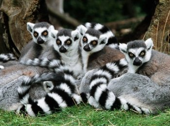 Ring-Tailed-Lemurs-634217_jpeg_630x1050_q85