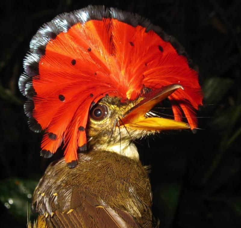 Королевская райская птица.
