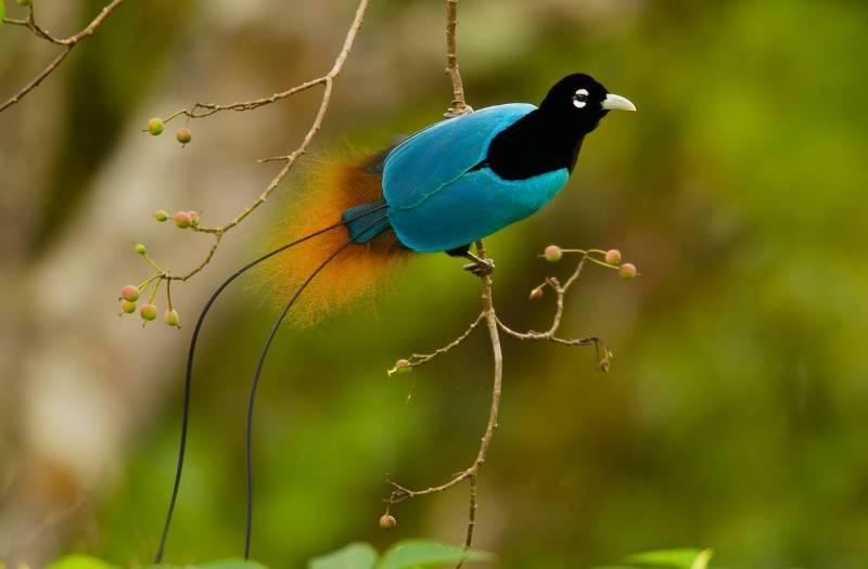Синяя райская птица.