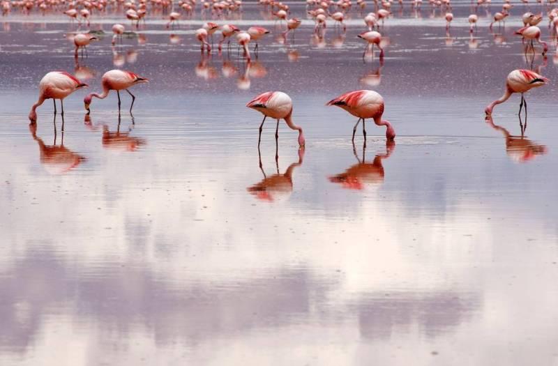 Фламинго на солончаке Уюни фото