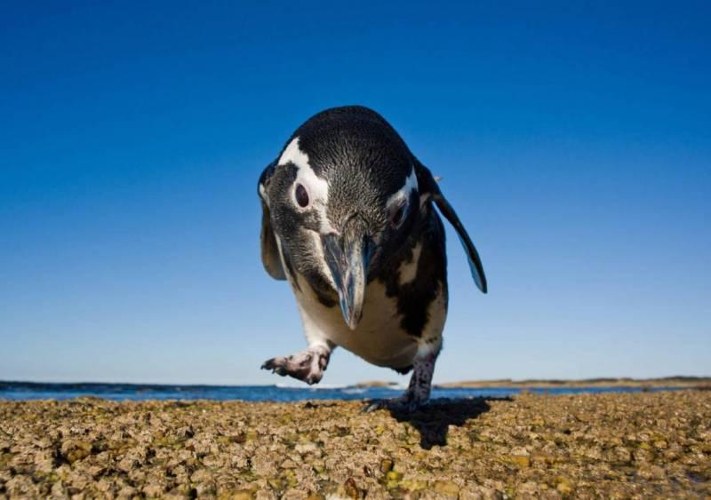 фото пингвин