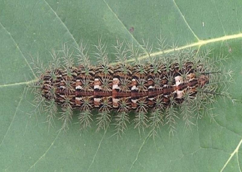 Гусеница лономии. Фотоисточник