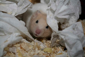 Hamster peeking out from den