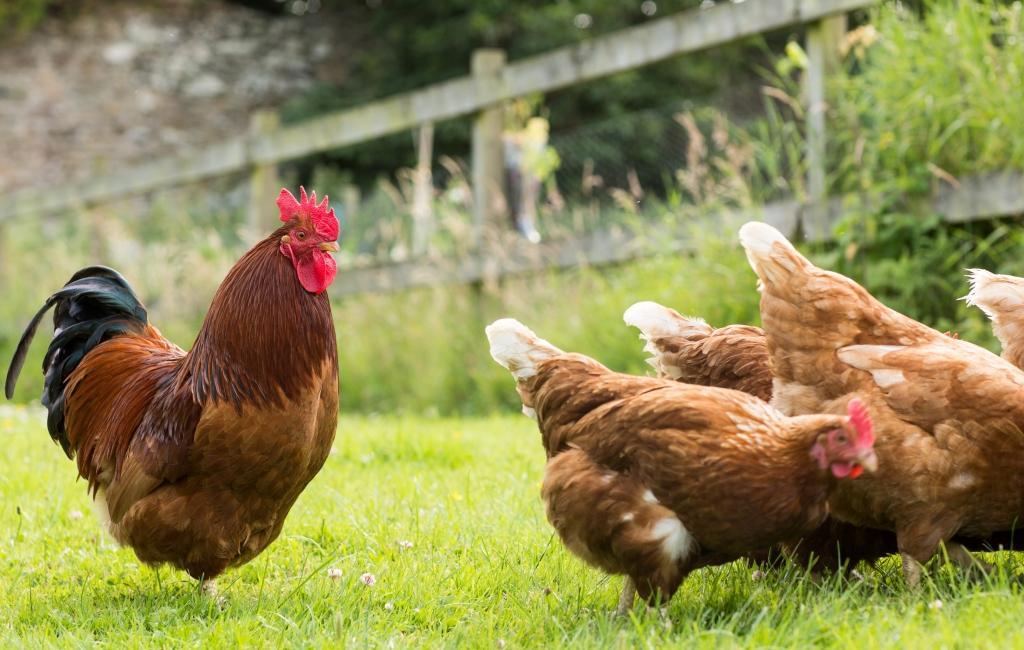 Wollen Sie Hühner einfangen oder lieber mit einem internen Kommunikationskonzept arbeiten?